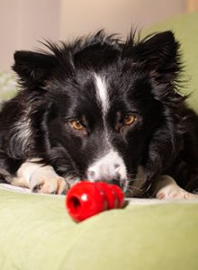 Collie with Kong toy